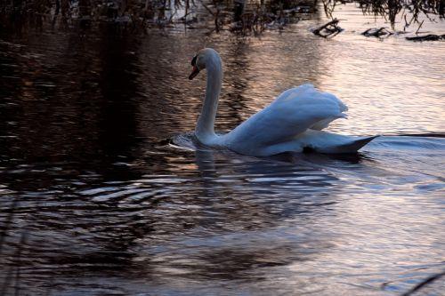 swan water sunset