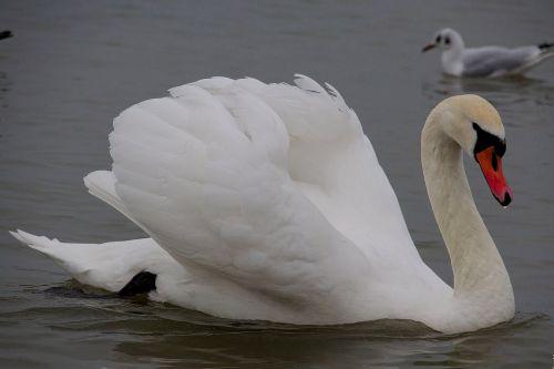 swan bird wild birds