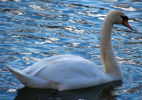 swan donald water