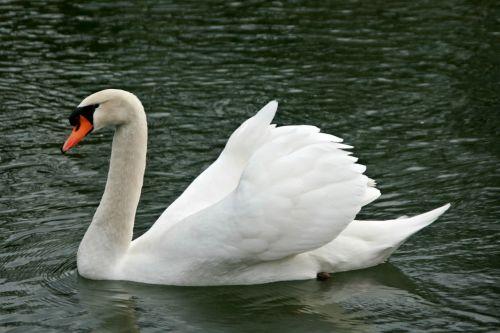 swan swans water bird