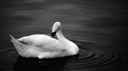 swan black white photo water bird