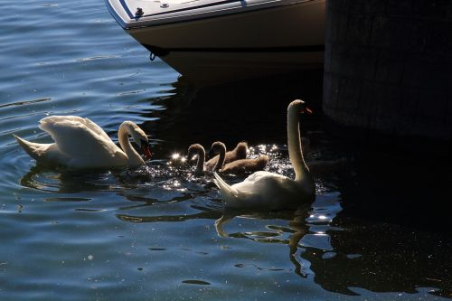 swan nature water bird