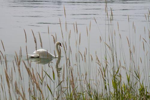 swan nature lake