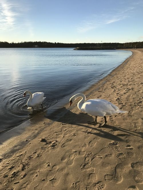swan sea sun