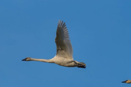 swan trumpeter dorthy roi white
