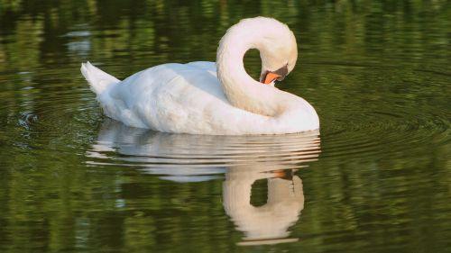 swan white lake