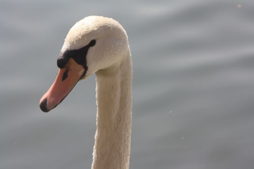 swan nature pride