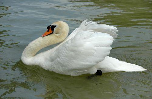 swan swim white