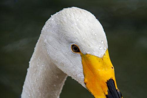 swan whooper swan cygnus cygnus