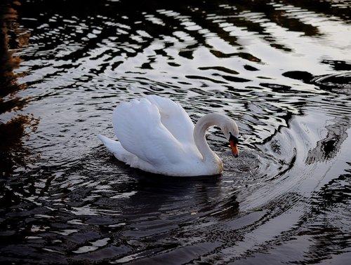 swan  ducks  duck bird