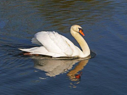 swan  impressive pose  attack