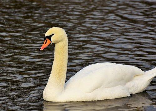 swan  water bird  schwimmvogel