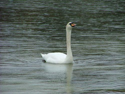 swan norway fjord