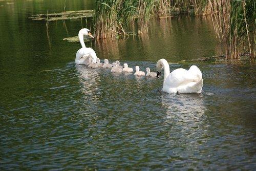 swan  swans  white swan