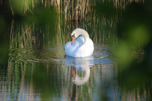 swan  swan's nest  breed