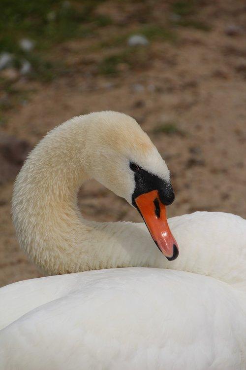 swan  mute swan  bird