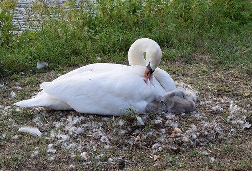 swan  chicks  ducks