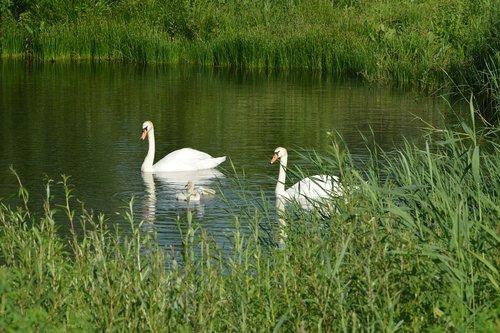swan  water fowl  elegant