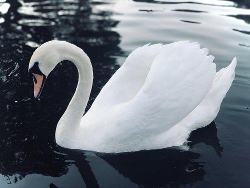 swan  lake  water bird