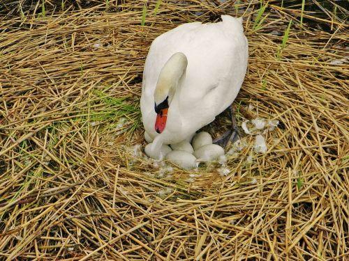 swan sweltering swan nest