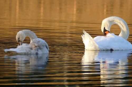 swan  young swan  mute swans