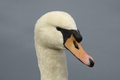 swan  animal portrait  bird