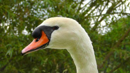 swan portrait gooseneck
