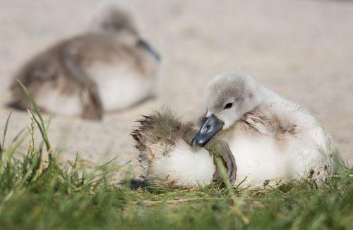 swan young animal animal