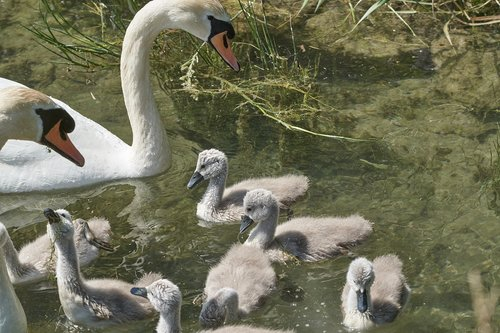 swan  family  chicken