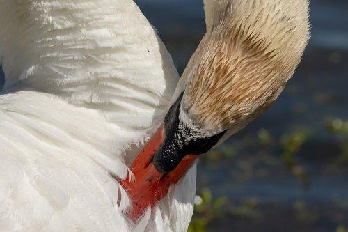 swan  bird  waterfowl