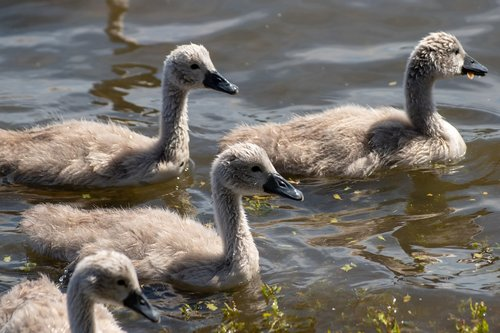 swan  the brood  waterfowl