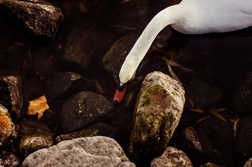 swan  water bird  white