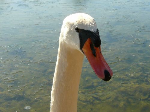 swan gooseneck bill
