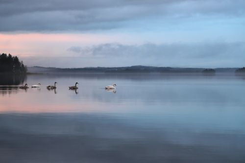swan nature peace