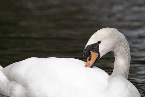 swan  white swan  water