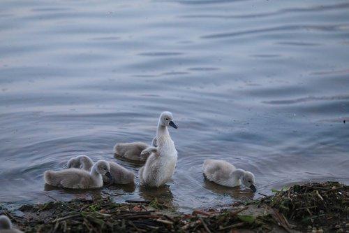 swan  baby  bird