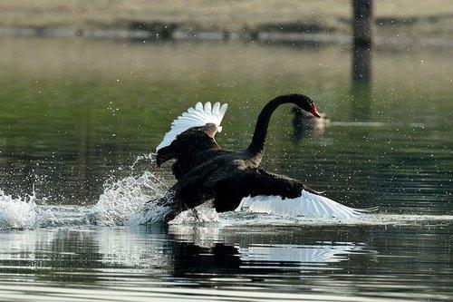 swan  nero  waters