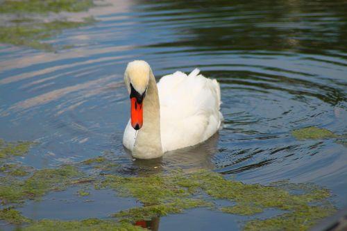 swan idyll water