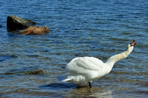 swan  baltic sea  graceful
