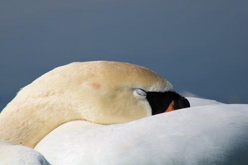 swan  mute swan  tired