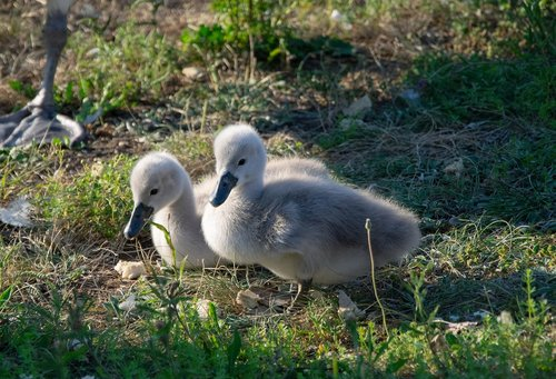swan  baby swan  white