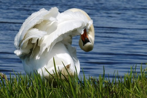 swan  feathers  peck
