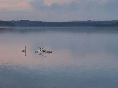 swan evening peace