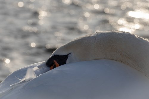 swan  water  sleeping