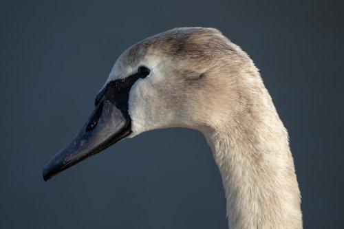 swan  young swan  head