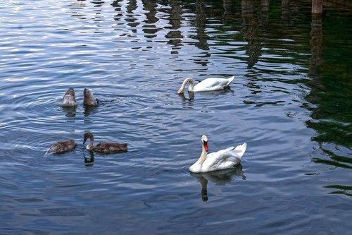 swan  pair  boy