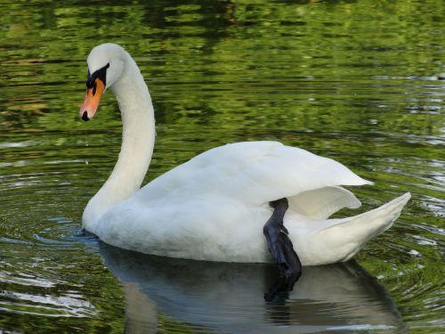 swan nature water