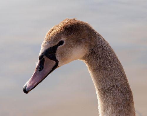 swan bird water bird