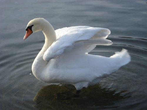 swan lake lausanne