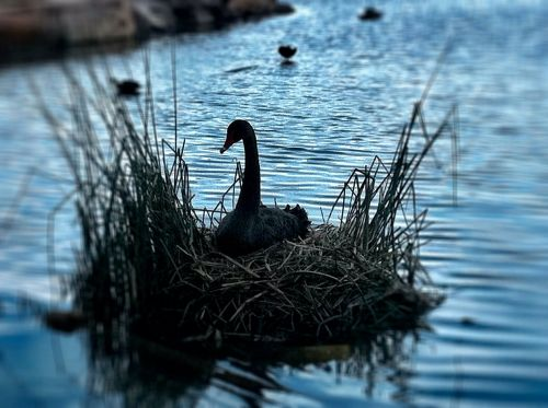 swan,nest,bird,pond